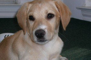Biscotti as a puppy