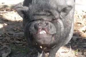 """Petey, """"Sweet Pete"""" the potbelly pig"""