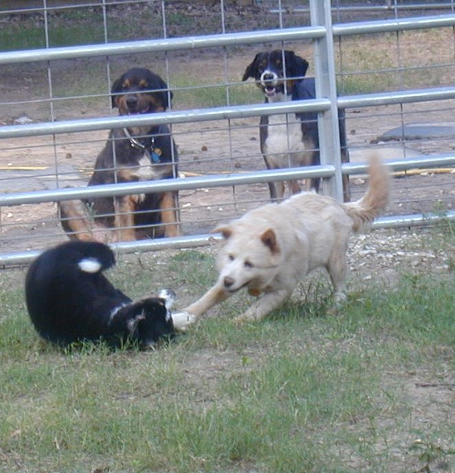 Gracie the coffee dog playing with Slick.