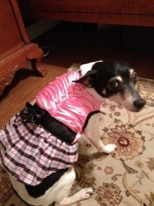 Freckles, our rat terrier, wearing a dress