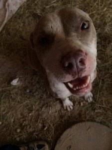 pit bull rescued